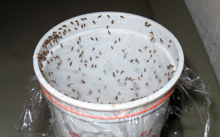 How to make a gnat trap naturally - BigBear Pest Control