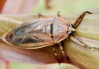 Giant water bug bite Pain scale, Symptoms, poisonous, Treatment