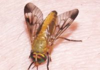 Yellow flies bite allergic reaction, blisters, Treatment