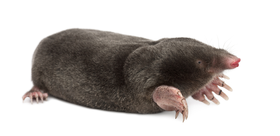Can You Get Rid Of Moles Naturally