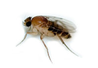 Phorid Flies Bite, Traps, Identification, TreatmentElimination