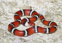 Scarlet King Snake Range, Size, Bite, Care, Adaptations