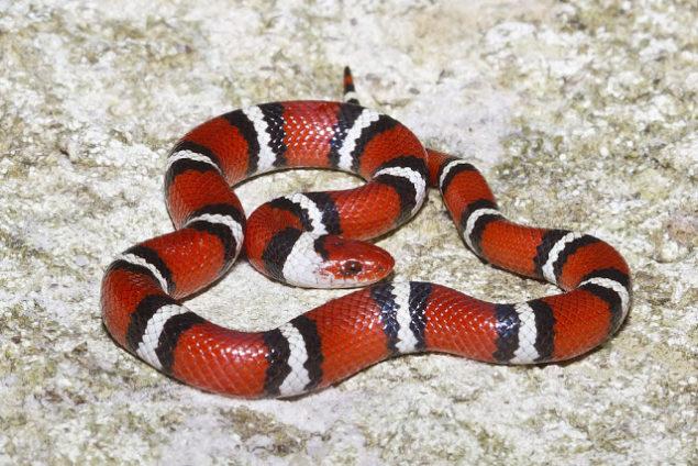 Scarlet King Snake Range, Size, Bite, Care, Adaptations