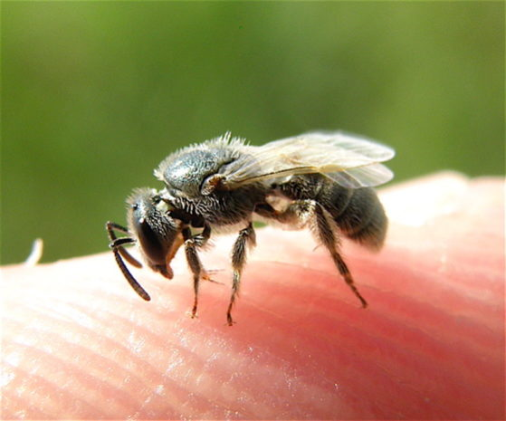 How to Get Rid of Sweat Bees in Pool, Yard, Outside, Home
