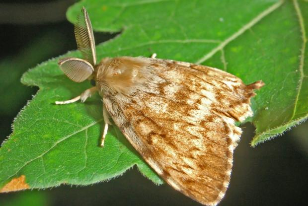 Best Gypsy Moth Control Methods