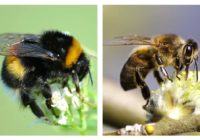 Bumblebee Vs. Honey Bee Sting, Size, Pollination, Difference