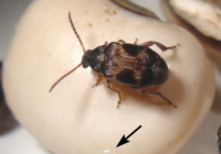Callosobruchus Maculatus Life Cycle, Oviposition, Bean Preference, Economic Importance