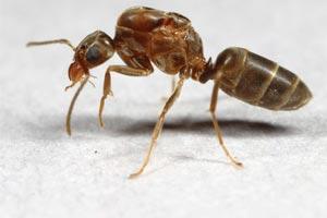 Grease Ants Pictures, Bait, Bite, Elimination, Borax