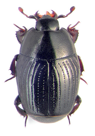 Hister Beetle Bite, Control, Life Cycle, Size, Scientific Name