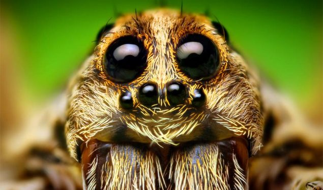How to get rid of Wolf Spiders inside House Naturally