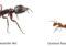 Pavement ants vs Carpenter ants