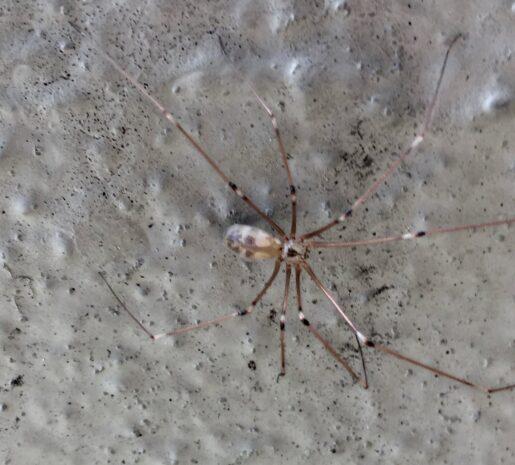Pholcus Phalangioides Bite, Infestation, Lifespan, Eggs, Venom
