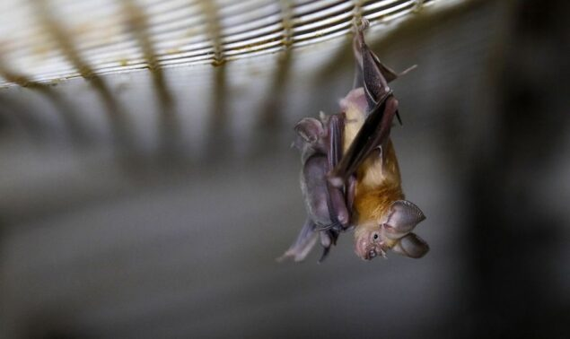 What insects do bats eat?