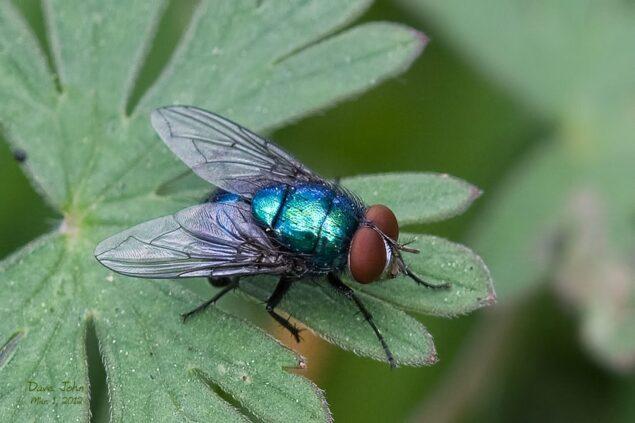 Bluebottle fly Images, bite, lifecycle, habitat, infestation, Identification