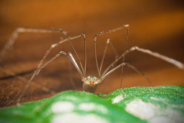 Harvestman spider Images, Identification, Bite, Facts, Venom, Eggs