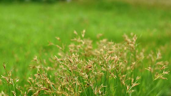 How to get rid of a nutsedge naturally  Nutsedge VS Crabgrass