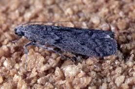 Mediterranean flour moth images, lifecycle, control, allergy, eggs