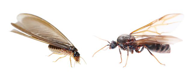 Winged ants  vs. Winged termites