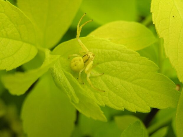 Are crab spiders poisonous?