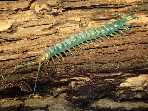 Blue centipede Pictures, Bite, Poison, Treatment