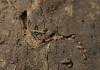 Dampwood termites Facts, Traps, Treatment