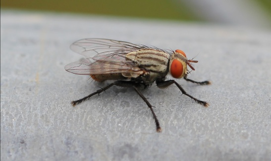 Sphaerocerid fly Facts, Identification, Traps, Control