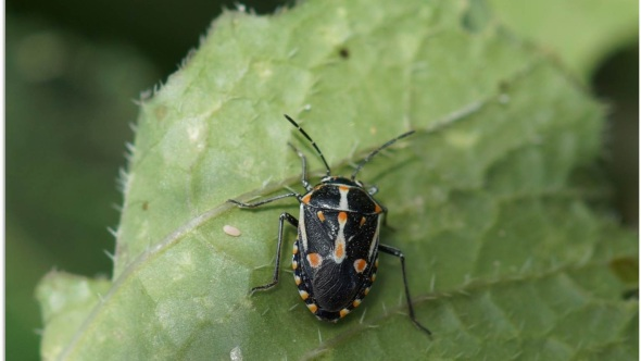 Bagrada bug Life cycle, Chemical & Organic control, Traps