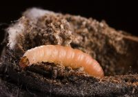 Navel Orange Worm Life Cycle, Identification, Eggs, Control