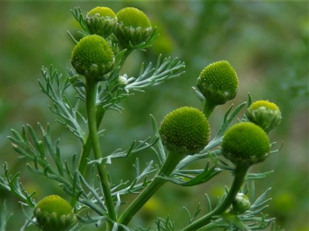 Pineapple Weed Uses, Tea, seeds, growth, cultivation