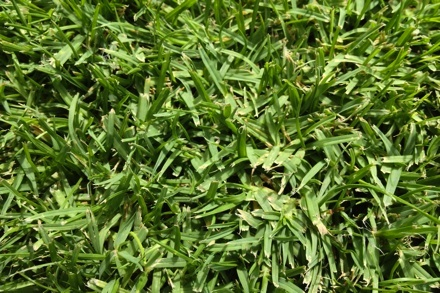 Seashore Paspalum grass Maintenance, Characteristics, Seeds, Care