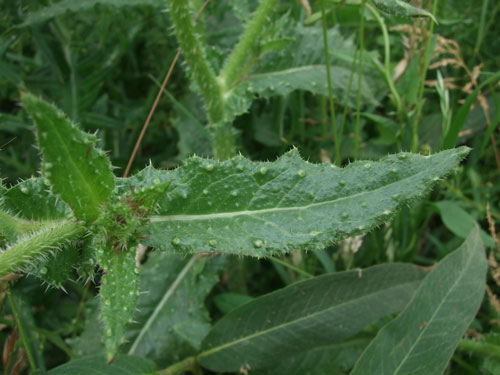 Bristly oxtongue Uses, Poison, Control, Leaves