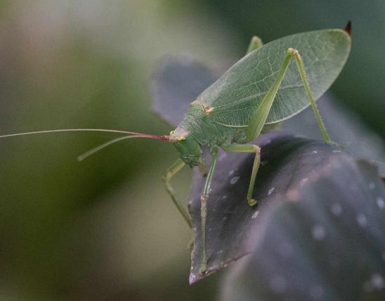Angle wing katydid Eggs, Life cycle, Habitat, Diet, Sound
