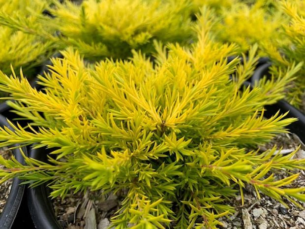 Coleonema sunset gold Size, Growth Rate, Care, Pruning