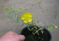 Hypericum Moserianum Size, Growth Rate, Care, Pruning