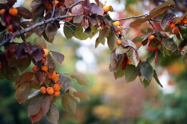 Izu persimmon Tree Size, Height, Fruit, Reviews