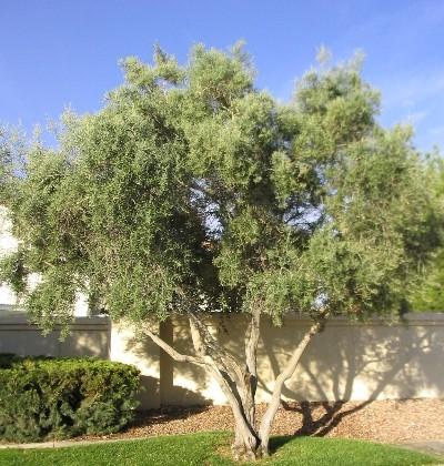 Olea Wilsonii Characteristics, Size, Growth Rate, Care