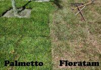 Palmetto vs. Floratam grass Care, Problems, Seed, Price