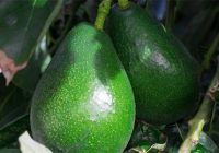 Avocado bacon tree Growth Rate, Height, Care, Types