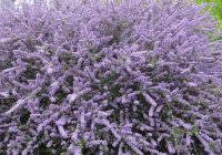 Ceanothus Skylark Growth Rate, Pruning, Size, Height