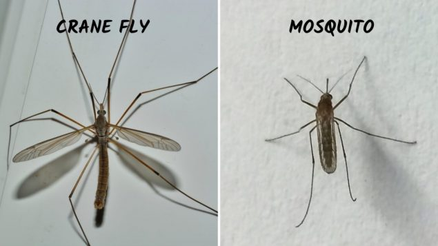 Crane fly vs Mosquito Size, Sting, Life cycle, Larvae