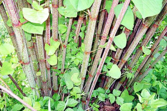 Japanese Knotweed Identification, Benefits, Removal, Treatment