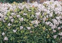 Majestic beauty Indian hawthorn Growth Rate, Size, Care, Problems