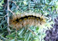 Silver Spotted Tiger Moth Caterpillar Sting, Poison, Diet, Life Cycle