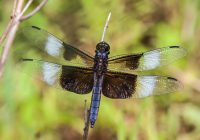 Widow Skimmer Dragonfly Male & Female Identification, Lifecycle, Control