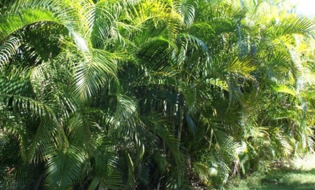 Areca Palm Benefits, Propagation, Seeds, Fertilizer, Price