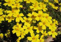 Lemon Gem Marigold Uses, Care, Size, Seeds