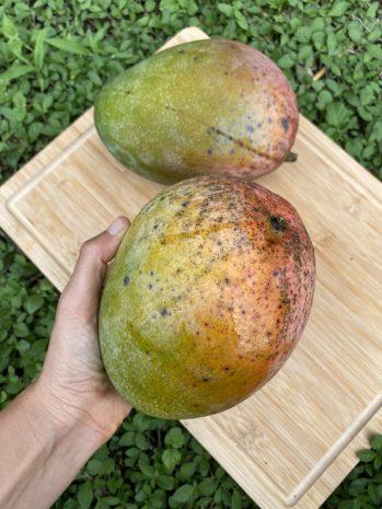 Keitt Mango Size, Taste, Calories, Benefits