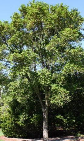 Triumph Elm Tree Growth Rate, Problems, Reviews, Size